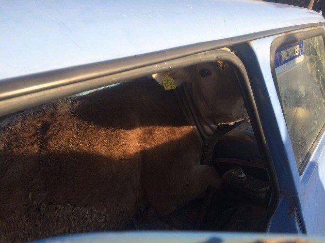 Çalınan Sığır Otomobil İçinde Bulundu