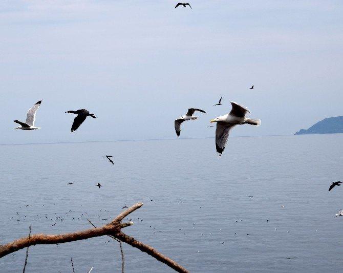 Binlerce Kuş Giresun Adası'na Yuva Yaptı