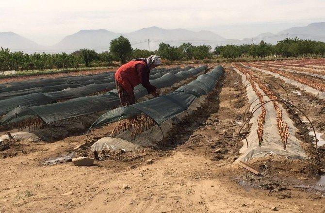 Türkiye'nin Üzüm Fidanı İhtiyacını Karşılıyor