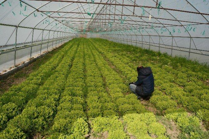 Sinop'ta Örtü Altı Üretim Arttı