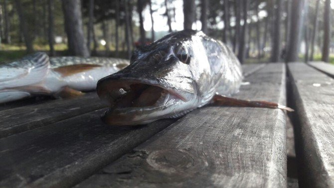 Turna Sezonunun Açılmasıyla Balıkçılar Pelitözü Göleti'ne Akın Etti