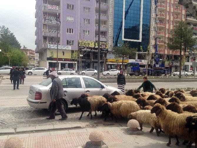 Koyun Sürüsü Trafiği Alt Üst Etti