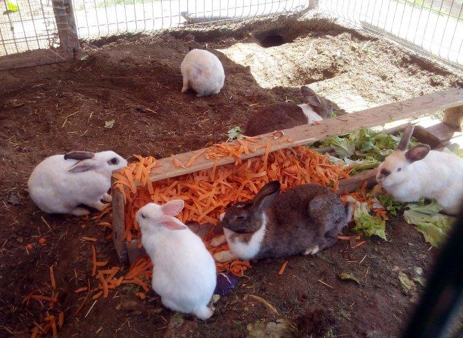 Bahar havasında tavşanların taze havuç ve marul keyfi