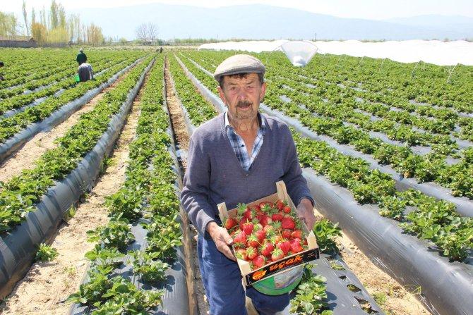 Çilek hasadı başladı üretici fiyattan ve üründen memnun