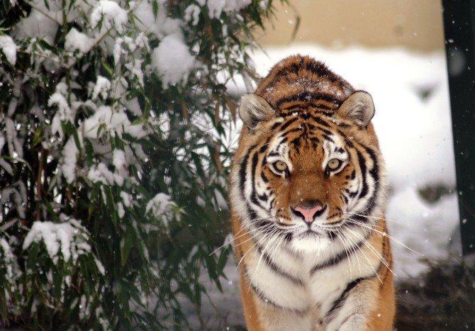 Hayvanat Bahçesindeki Kaplan, Teyze Ve Yeğene Saldırdı