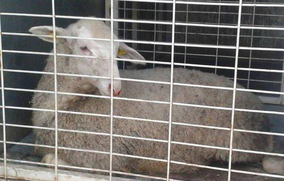 Yaralı Hayvanı Tedaviye Götürmek İçin Bagaja Koydu, Başına Gelmeyen Kalmadı