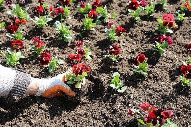 Erzincan'da Bir Milyon Çiçek Toprakla Buluşacak