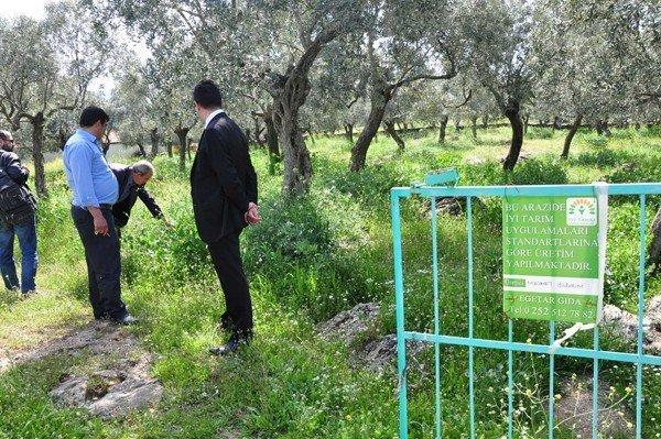 Milas'ta Yeşil Gübreli Tarım Yapılıyor
