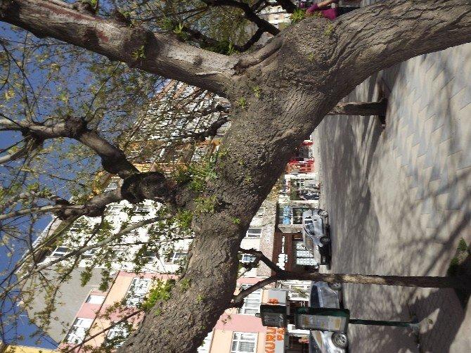 O Ağaçın Dalında Bu Yıl Da Süs Çiçeği Açtı