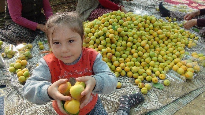 Türkiye'nin İlk Kayısı Hasadı Mersin'de Yapıldı