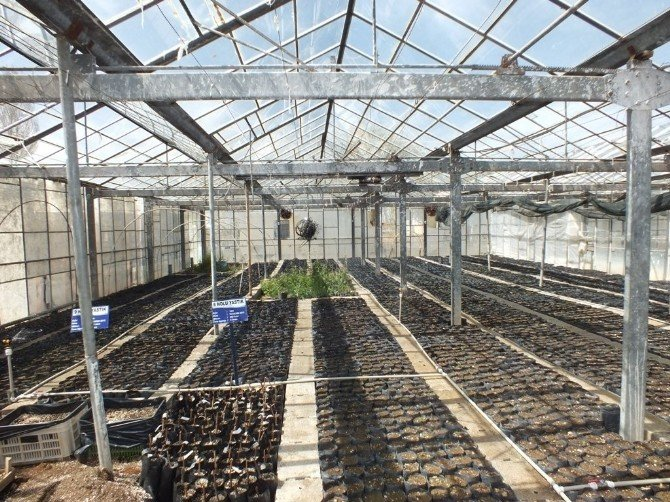 Van'da Soğuğa Ve Dona Dayanıklı Ceviz Fidanı Üretimi