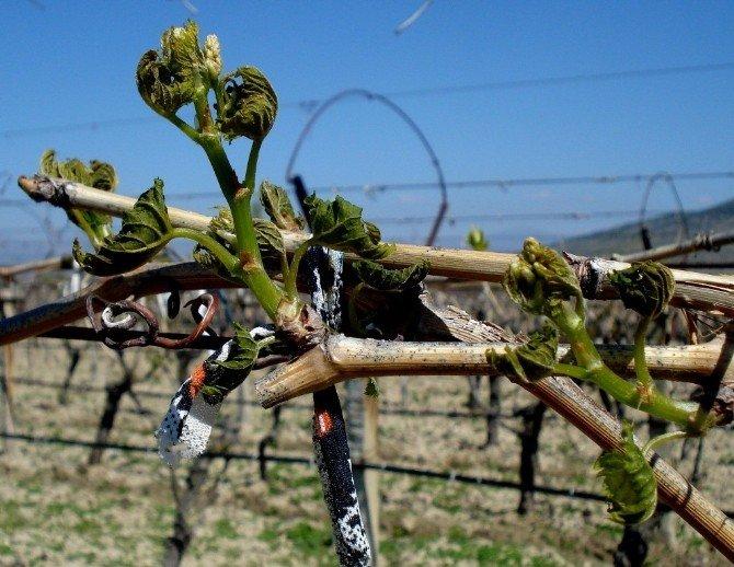 Manisa'da Tarım Sigortasına İlgi Arttı