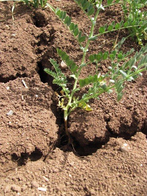 Araban Ovasındaki Verimli Topraklar Kuraklıktan Çatlıyor