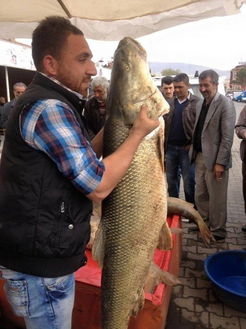 Dev Turna Balığı İlgi Odağı Oldu
