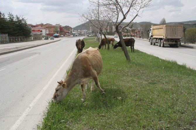 Yozgat'ta Ahırdan Kaçan İnekler Şehir Merkezine İndi