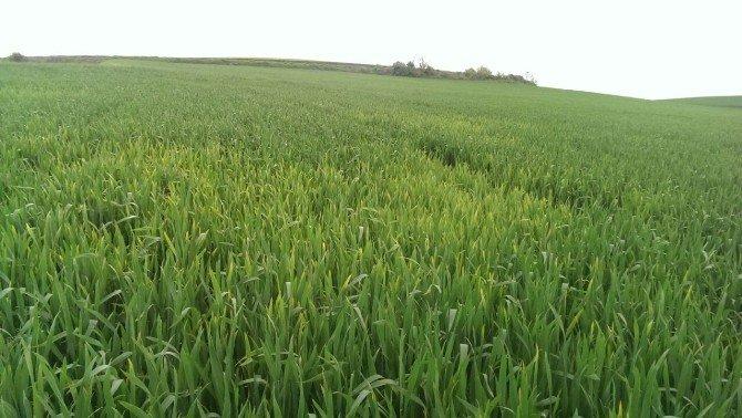 Buğday Üreticisi Zor Durumda