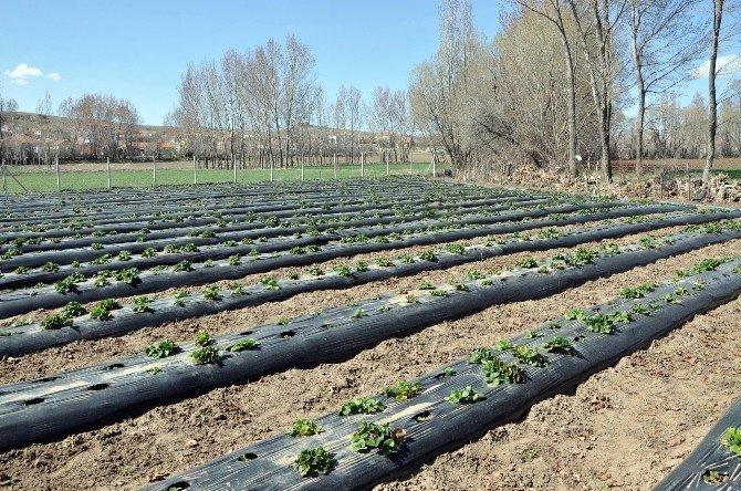 Sorgun'da Çilek Üretimi Yaygınlaşıyor
