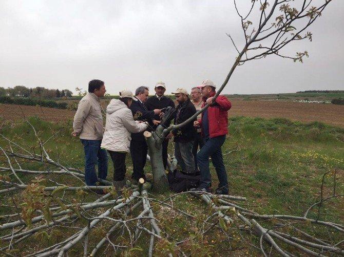 Verimsiz Ceviz Ağaçları Aşılandı