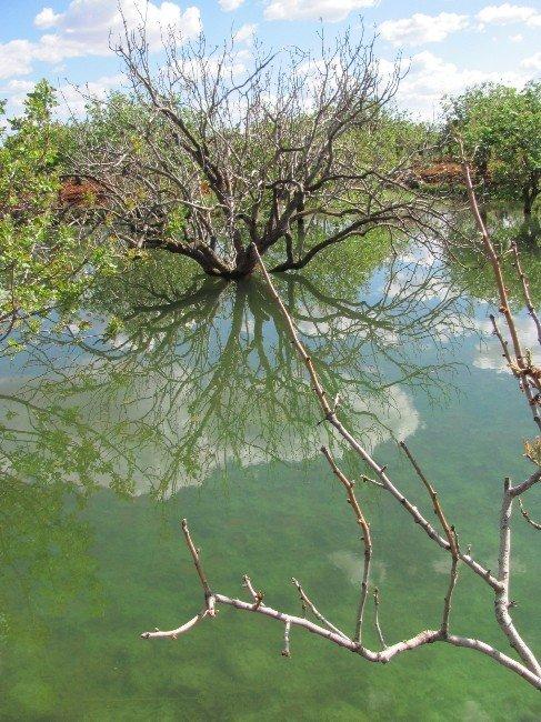 Gaski İçme Suyu Fıstık Ağaçlarını Kuruttu