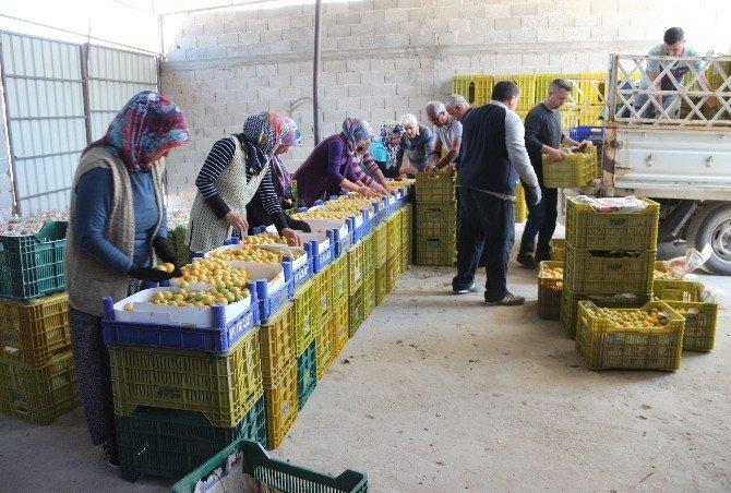 Mersin'de Erkenci Kayısı Hasadı 15 Gün Önce Başladı