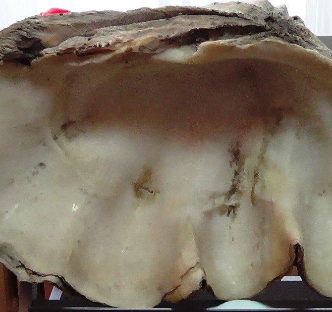 1 Milyon Yıllık Tridacna Maxima Fosili Müzede