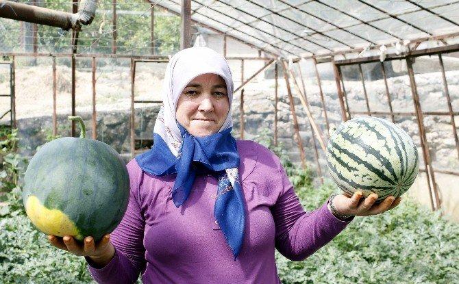 Türkiye'nin İlk Karpuz Hasadı Antalya'da Başladı