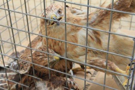 Şahin ve sincaplara özgürlük operasyonu