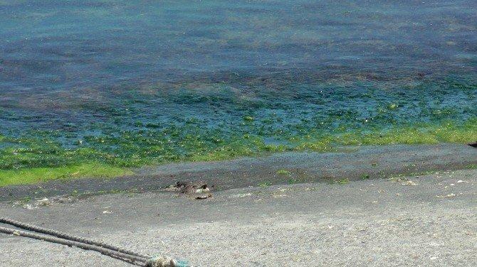 Karadeniz'de Yosun Ölümleri Yaşanıyor