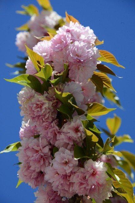 Konya'da Rengarenk Sakuralar Baharı Yaşatıyor