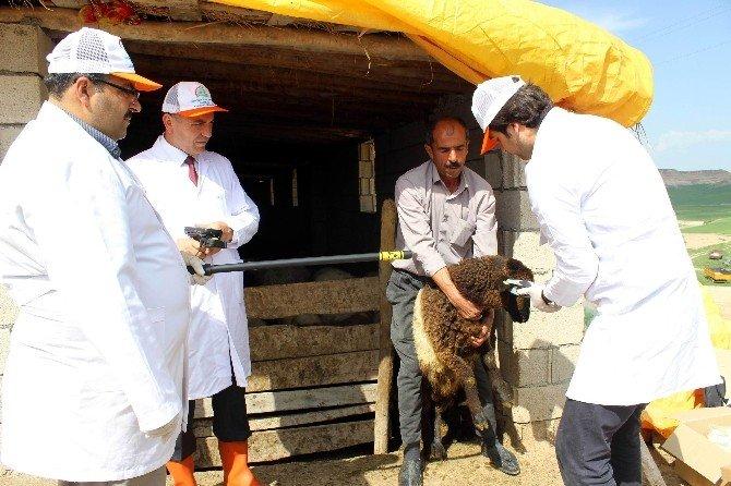 Keçi Ve Koyunlara 'Çip' Takılıyor