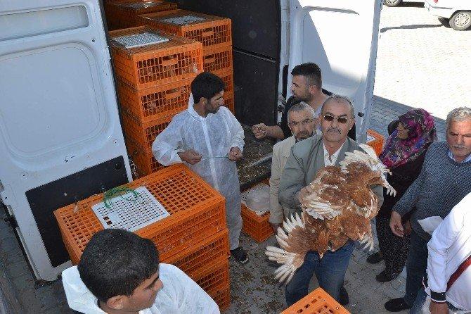 Nevşehir Ziraat Odası Çiftçilere Tavuk Ve Civciv Dağıttı