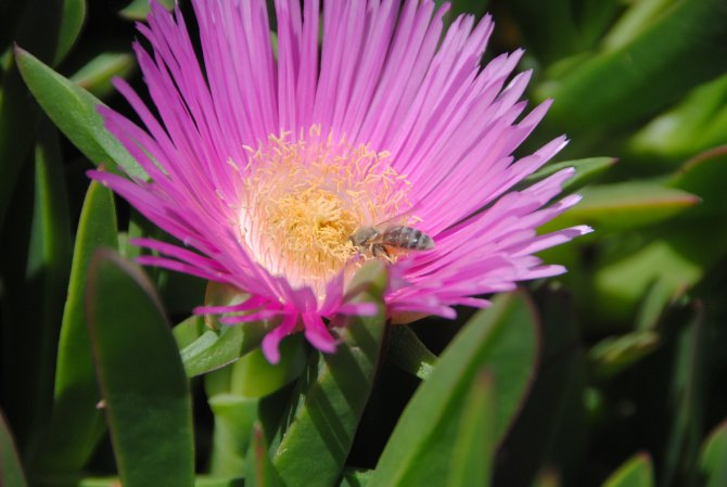 Bir arı bal yapmak için bir günde bin 500 çiçeğe konuyor