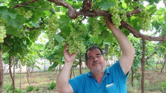 Üzüm Hasadı Mersin'de Başladı