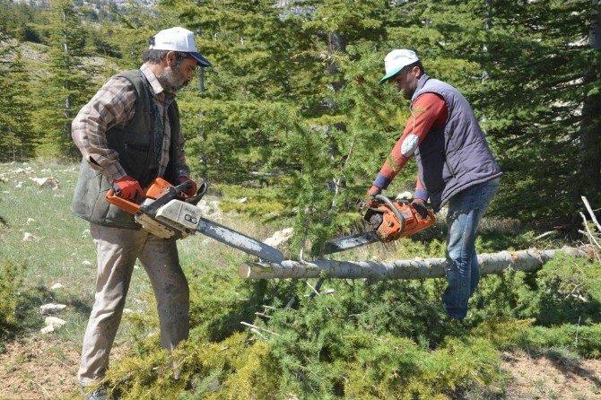 Mersin'de Sedir Ormanlarında Sıklık Bakım Çalışmaları Başladı