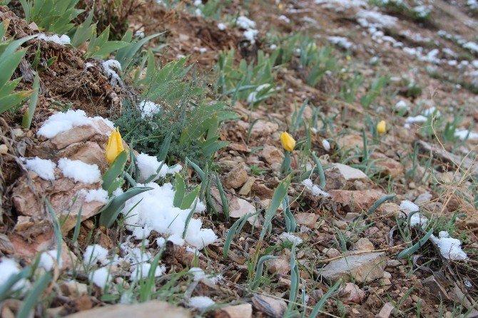 Oltu'da Laleler Kar Altında Kaldı