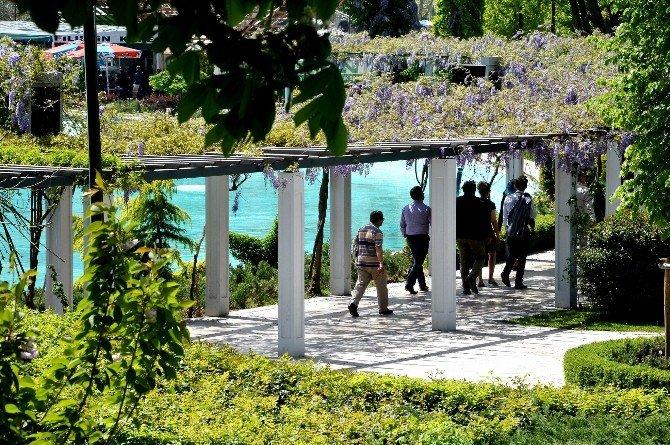 Gençlik Parkı'nda Mor Salkımların Görsel Şöleni