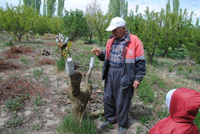 Yüksek kalitede ürün almak için meyve ağaçları aşılanmaya başlandı