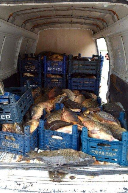 Elazığ'da 6 Ton Kaçak Sazan Ele Geçirildi