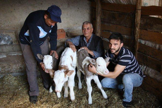 Eskişehir'in Seyitgazi İlçesinde Bir İnek Üçüz Doğurdu