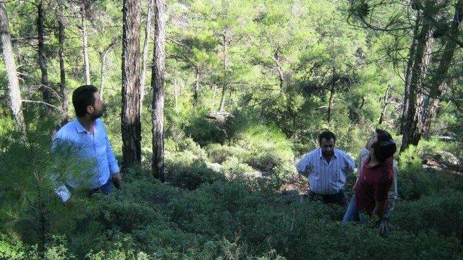 Bir Yandan Bal Ormanları Kurulurken, Diğer Yanda Bal Üreten Çamlar Kesildi