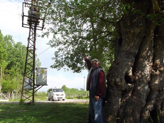 'Tarihi dut ağacı koruma altına alınsın'