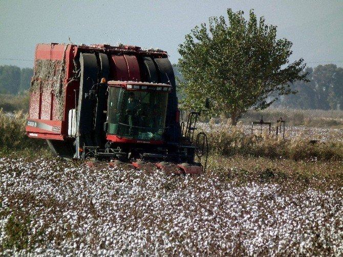 Aydın'da Pamuk Ekim Alanları Yüzde 25 Arttı
