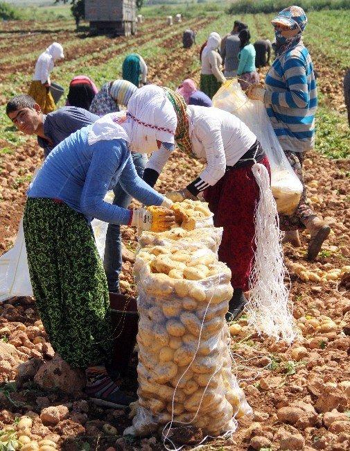 Geçen Yıl Altın Olan Patates Bu Yıl Pul Oldu