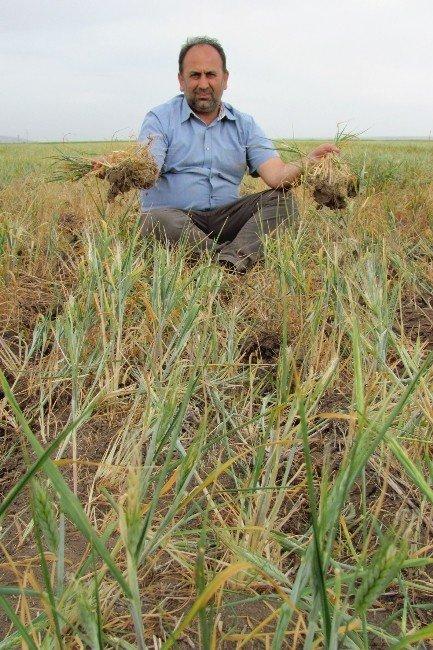 Güneydoğunun Tahıl Ambarını Kuraklık Vurdu