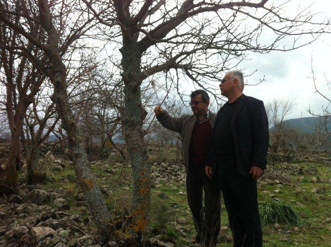 Yunusemre'de Ağaçlar Aşılanıyor