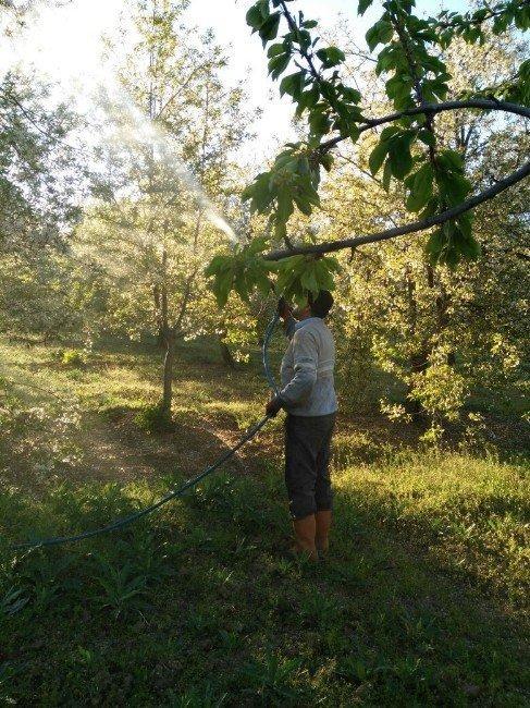 Kiraz Ve Vişne Bahçelerinde Zirai Mücadele