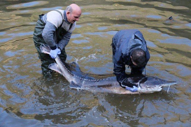 Dinazorlar Döneminden Kalan Ender Canlılardan Olan Mersin Balığı Koruma Altında