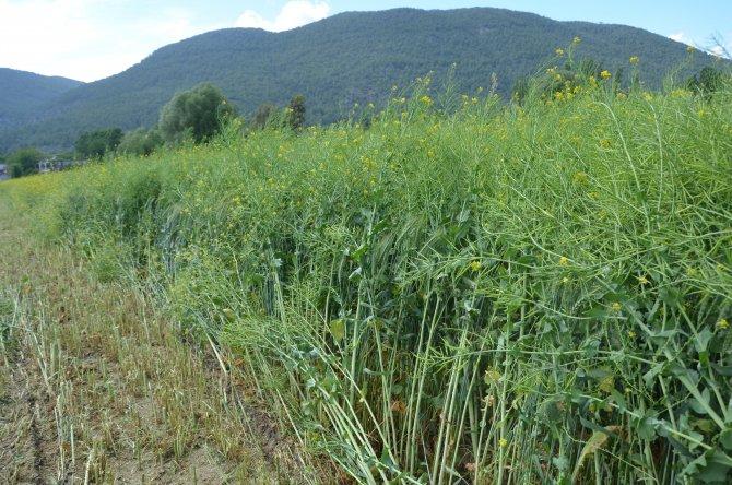 Muğla'da alternatif yem bitkisi tarla günü