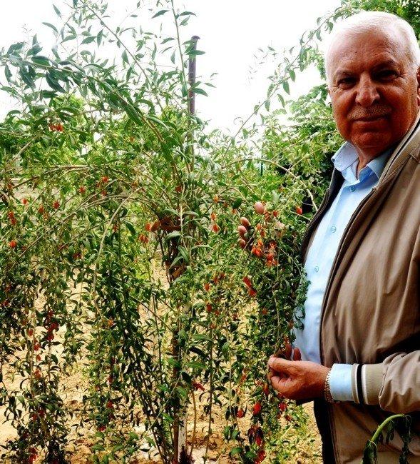 Çin'in Mutluluk Meyvesi Sarıgöl'de Yetiştirildi