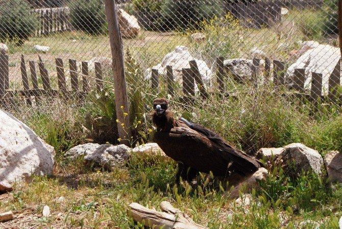 Verici Takılan Akbabalar, Doğaya Salındı